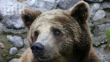 Високите температури събудиха мечките от кюстендилския зоопарк