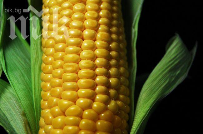 К чему снится сажать кукурузу 98