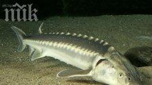Есетрата в Дунав и Черно море е застрашена от изчезване