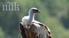 Търсят охрана за египетски лешояд от Източните Родопи