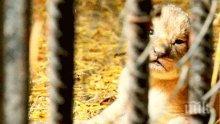 Четири лъвчета се родиха във варненския зоопарк