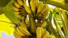 Българско село прибира реколта от банани