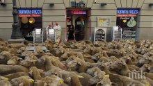 Откраднаха стадо овце заедно с кучето