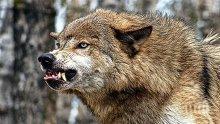 Паника! Вълци и чакали тормозят десетки петрички села</p><p>