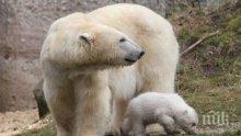Лапите на белите мечки миришат, твърдят учени</p><p> </p><p>