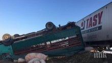 """Уникум! Дебели прасета се разхождат по магистрала """"Тракия"""" след жестока катастрофа между два ТИР-а (снимки)"""