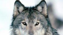 Застрашаващо се увеличава броят на вълци и чакали у нас, от Сърбия пък навлизат рисове