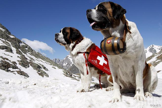 Туристите в драма - в Швейцария забраниха снимките със санбернар