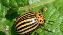 Колорадският бръмбар – враг №1 на картофите и патладжаните