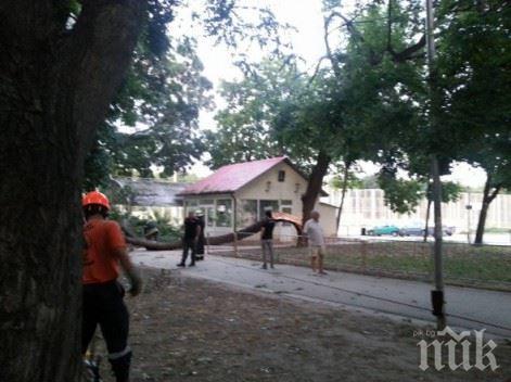 Дърво се разцепи на две в парка в Аспарухово във Варна