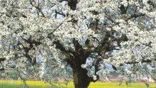 Пръскайте плодните дървета срещу въшки и акари