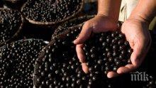 Боровинката обича киселинните и влажни почви