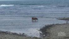 Плажът в Царево се превърна в ад за туристите! След като се разби хеликоптер там, днес хората наблюдават крави и магарета в морето (снимки)