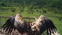 Мишел е името на първото бебе белоглав лешояд в Стара планина