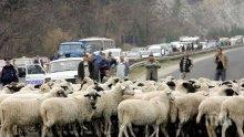 Шофьор помете стадо овце