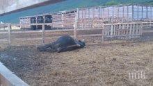 Фермер застреля бик, за да спаси живота си