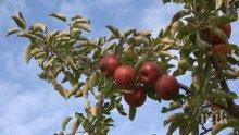 Пазете плодовете от болести – берете ги с  дръжките