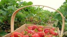 Новата ягодова градина се сади през септември