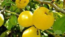 Как да съхраняваме реколтата от ябълки, круши и дюли