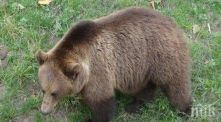 мечката берна заспива зимен сън костадин буден