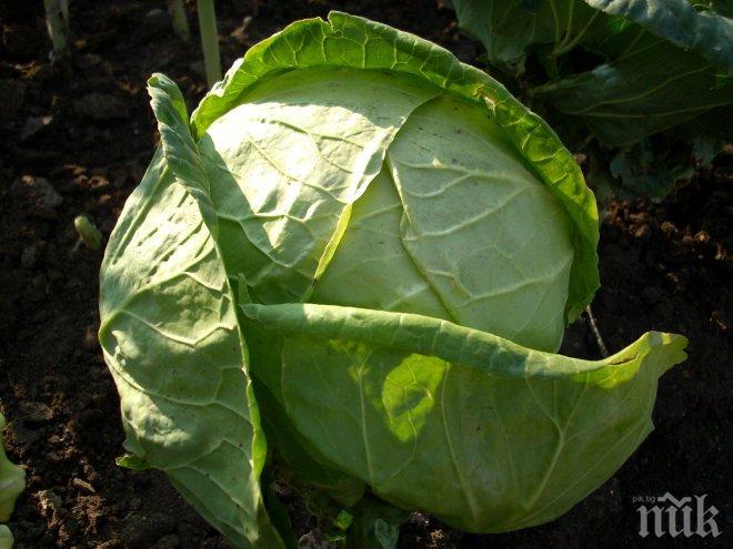 Зелето може да се съхрани прясно до март