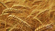 Продължава сеитбата на пшеница в област Добрич