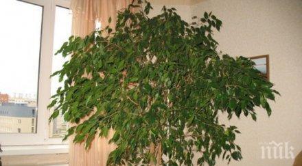 фикус бенджамин често срещаното растение дома