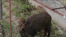 Пълен абсурд! Диво прасе се засели в града (ВИДЕО)</p><p>