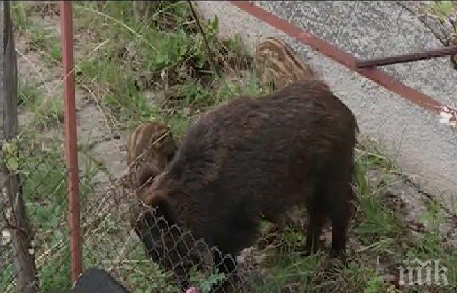 Пълен абсурд! Диво прасе се засели в града (ВИДЕО)