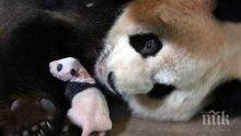 Гигантската панда Я Ли роди първите близначета за годината