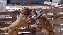Кървав бизнес! Цял квартал в Казанлък отглежда кучета за боеве