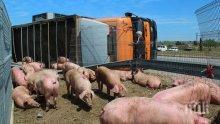 Миризлива катастрофа! Над 200 прасета блокираха магистрала във Франция