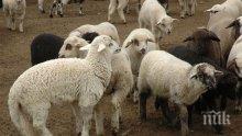 Кучета-стръвници умъртвиха 5 агнета и 5 овце в ранчото на Яне Янев