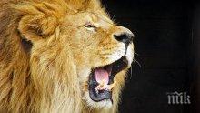 В Бангладеш организираха сватба на лъв и лъвица