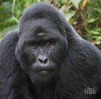 горила избяга лондонския зоопарк