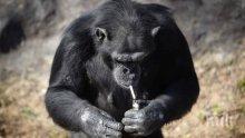 Маймунска му работа! Шимпанзе пуши по кутия цигари на ден