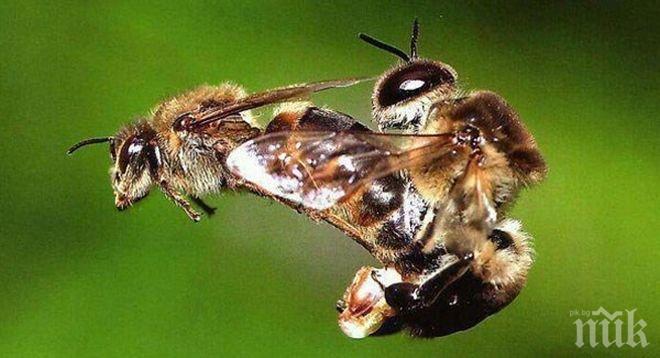 Веган разкри мръсната тайна на пчелния добив: Обезглавяват стършела, вземат му спермата и я вкарват в женската пчела, като я изнасилват