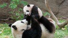 Панда рани тежко служител в център за опазване на панди