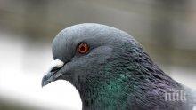 Шок! Пловдивските гълъби с птичи грип