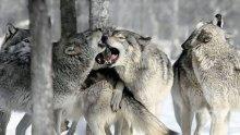 УЖАС! Гладни вълци и чакали дебнат къщи около Сливен
