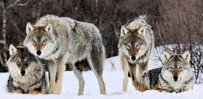 СТРАХ ОТ ВЪЛЦИ СКОВА СРЕДНА ГОРА! Озверели от глад и студ хищници разкъсват стада и дивеч