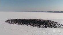 УНИКАЛНО ВИДЕО! Диви патици си направиха плаж насред замръзнало езеро