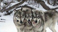 Страшни вълци вият от Румъния, стряскат нощните пазачи по Дунав