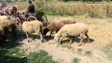 Работех като пастир, чорбаджията ме натири болен без дрехи