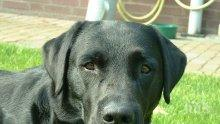 Феномен: Лабрадор роди зелено кученце (СНИМКА)