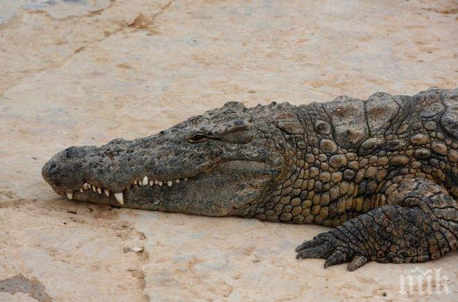 ШОК! Петметров крокодил изяде 19-годишен футболист (СНИМКА)