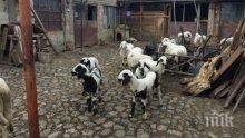 Жестокост преди Великден: Апаши пребиха овчар, за да му вземат агнетата