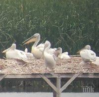 радост бебета пеликани излюпиха сребърна