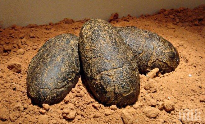 СЕНЗАЦИЯ: Намериха яйца от динозаври със запазени зародиши