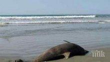 Откриха умрял делфин край Варна